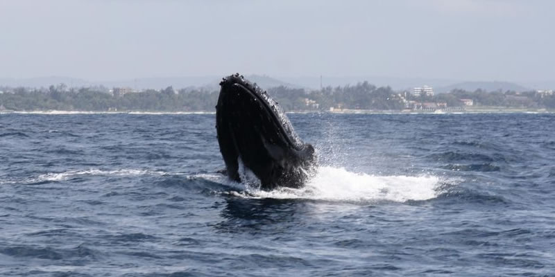 Humpback Whale in Mombasa